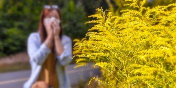 alergia na ambróziu